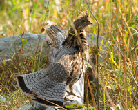 Ruffed Grouse, Death Canyon Trail, Tetons