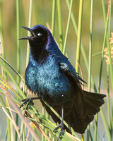 BoatTailed Grackle, Male