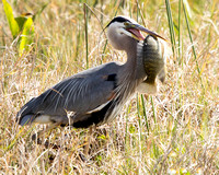 Blue Heron/ Lunch