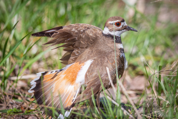 Killdeer Displaying