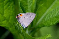 Gray Hairstreak, Ventral View