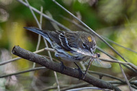 Yellow Rumped Warbler With Dragonfly