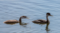 Western Grebe, Adult and Immature