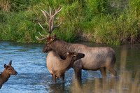 Bull and Cow Elk 1