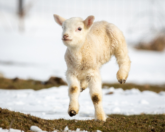 Frolicking Lamb