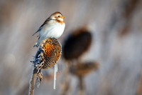 Snow Bunting on Sunflower Head