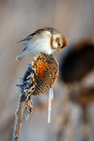 Snow Bunting, Icicle