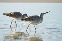 Willets, Winter Plumage