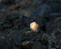 Pika- Warmth of First Light!