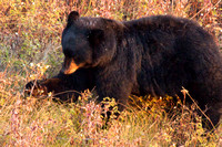 Black Bear, Using Claws to Gather Flowers