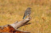 Mountain Bluebird, Female  Fountain Flats Drive
