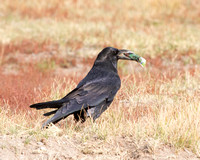 Raven with Granola Bar