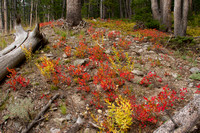 Fall Colour, Mt. Washburn