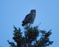 Great Horned Owl, Mammoth Tower Rd.