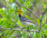 Black Throated Green Warbler, Female