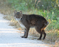 Bobcat, Black Point Drive, Merritt Island