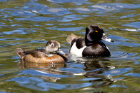 Ring Necked Duck, Pair