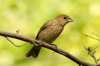 Indigo Bunting, Female
