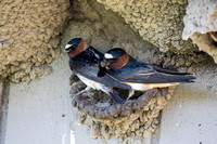 Cliff Swallow, Pair