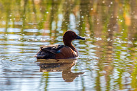 Cinnamon Teal, Male
