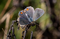 Gray Hairstreak, Dorsal View