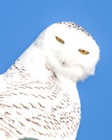 Snowy Owl, Stare down