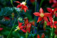 Red Columbines, Original