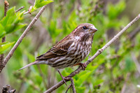 Purple Finch, Young Male?