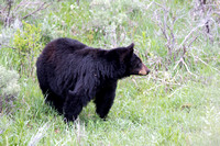 Black Bear, Female