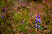 Blueberry and Wild Blue Lupine
